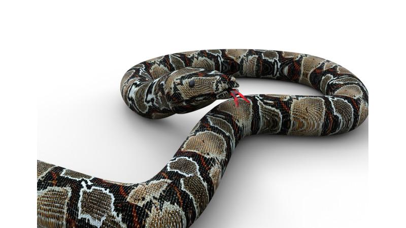 Ritual milk snake anus